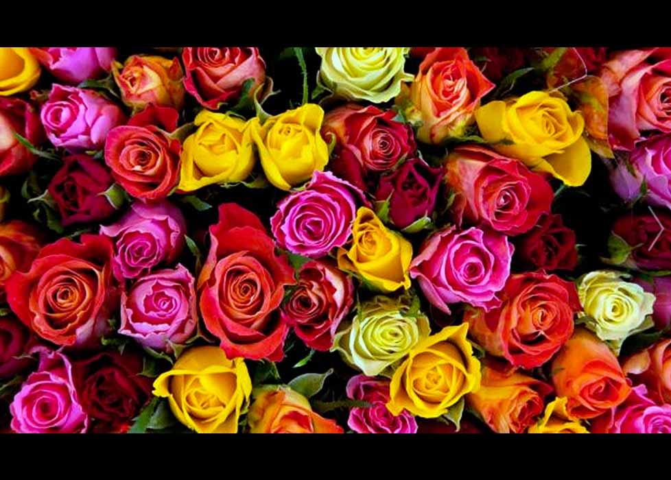 Significado de las rosas seg n su color mariela tv - Significado colores de las rosas ...