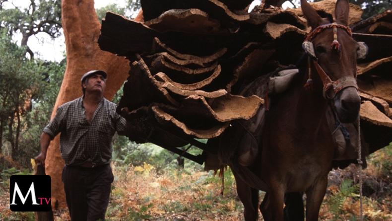 El descorche, un rito ancestral en Los Barrios de la provincia de Cádiz, España